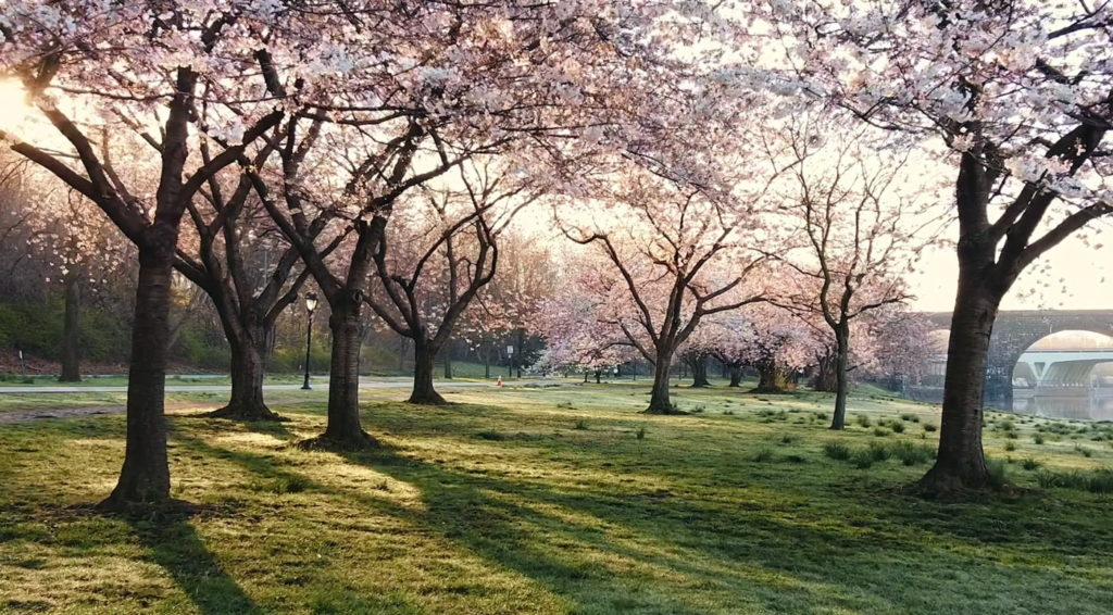 Stay active while working remotely by enjoying the cherry blossoms outdoors.
